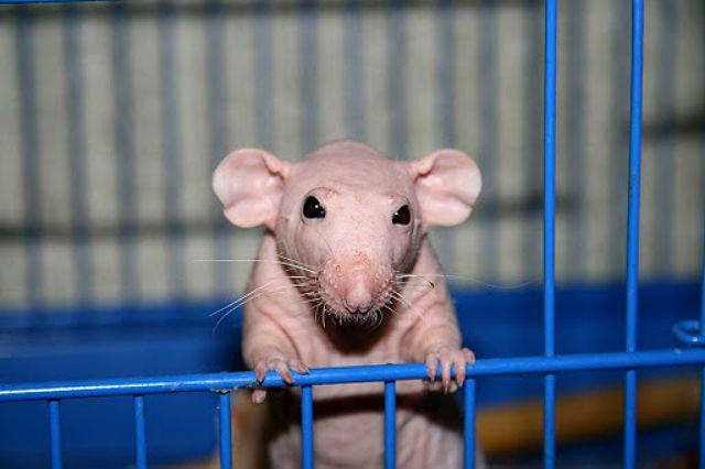 Крысы сфинкс - клетка