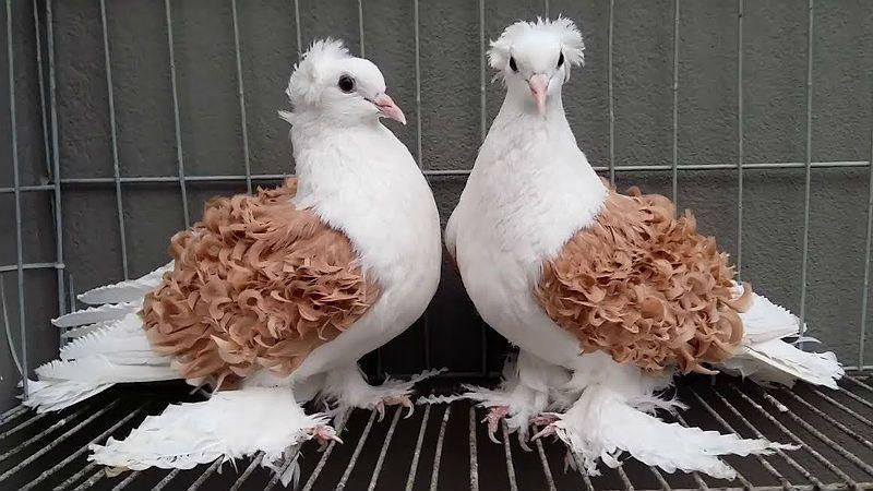Кудрявые голуби - главное фото