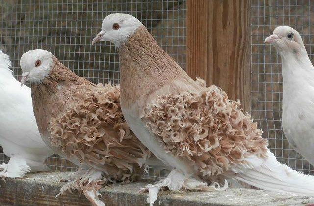 Темно-бежевые кудрявые голуби