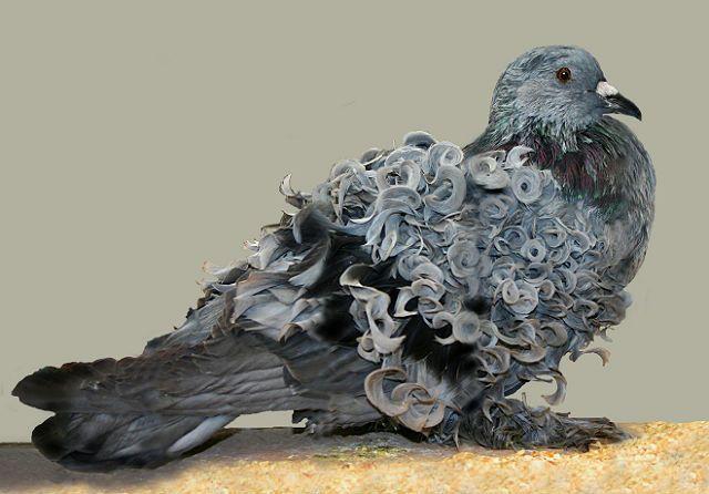 Кудрявый голубь