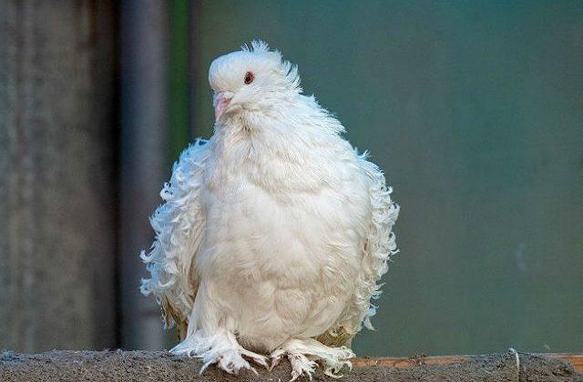 Белый кудрявый голубь