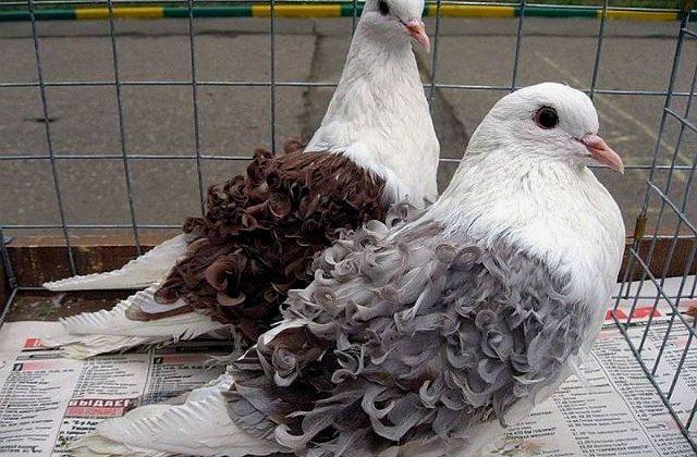 Два кудрявых голубя