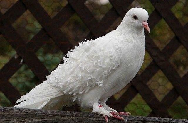 Кудрявый голубь - вид сбоку