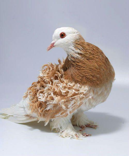 Кудрявые голуби - внешний вид