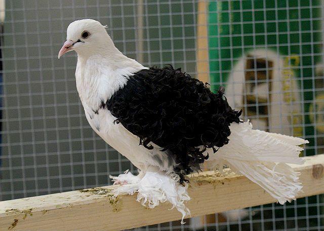 Черно-белый кудрявый голубь