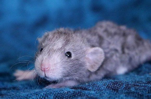 Крысенок рекс с кудрявой шерстью
