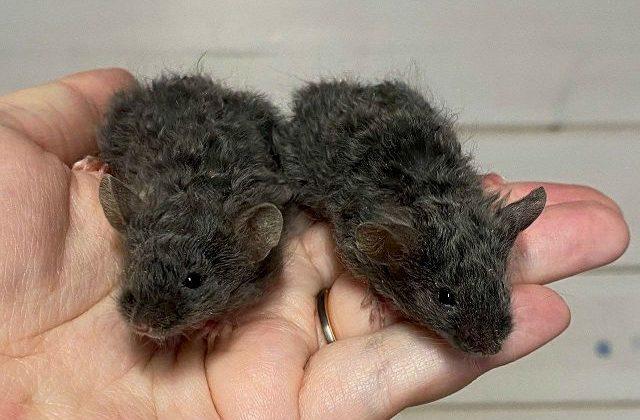 Черные крысята рекс