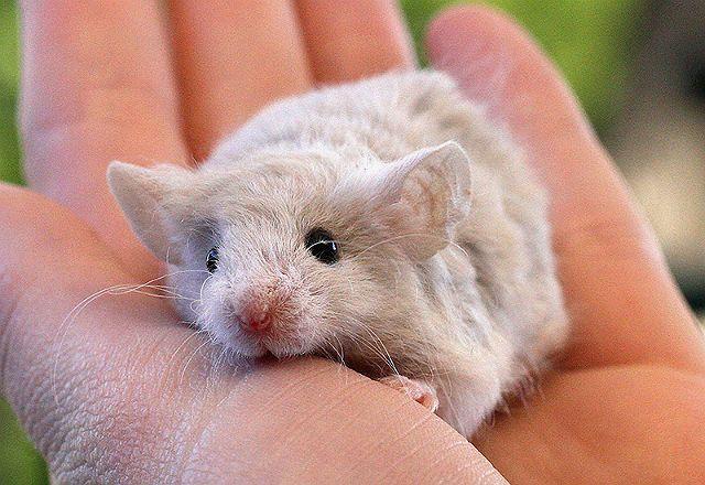 Кудрявая крыса породы рекс