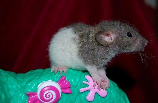 Кудрявый крысёнок вида рекс