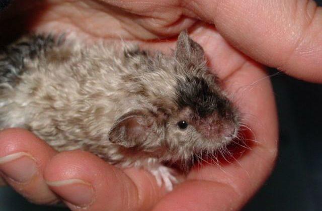 Кудрявая крыса рекс на ладошке