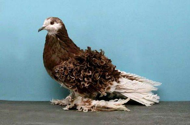 Кучерявый голубь
