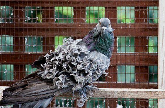 Кудрявый голубь - сизый