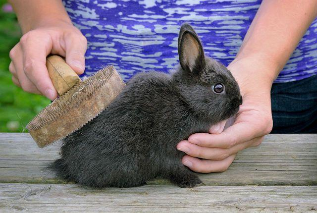 Расчесывание декоративного кролика