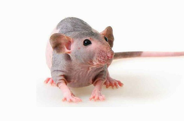 Лысая крыса сфинкс - вид спереди
