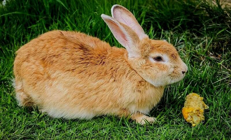 Можно ли кроликам кукурузу - главное фото