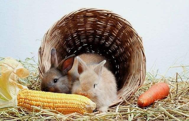 Можно ли кроликам кукурузу - польза
