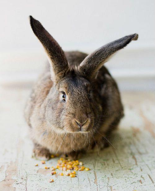 Можно ли кроликам кукурузу - цельное зерно