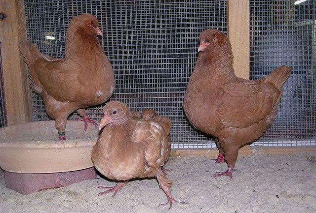 Мясные голуби кинг-1