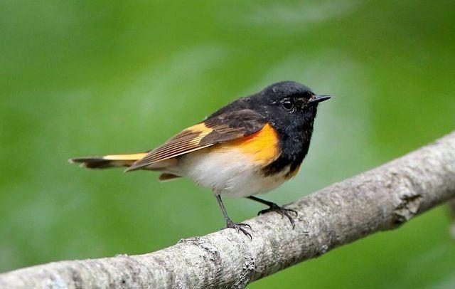 Горихвостка - окрасы птиц