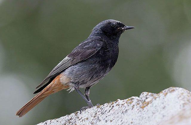 Горихвостка - певчая птица