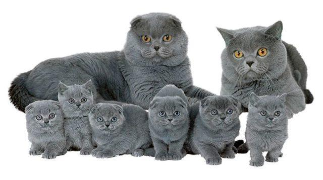 Скрещивание вислоухих и прямоухих кошек