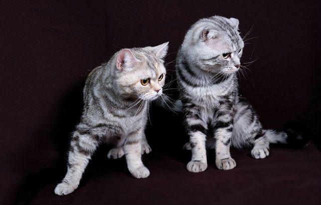 Шотландские кошки - прямоухая и вислоухая