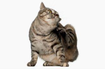 Почему кошка чешется - главное фото