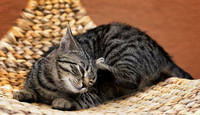 Почему кошка чешется - аутоимунные патологии