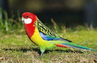 Попугай розелла - главное фото