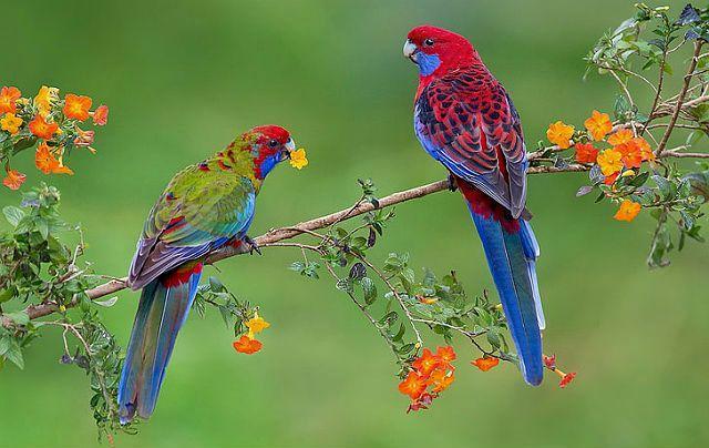 Попугай розелла - уход и кормление