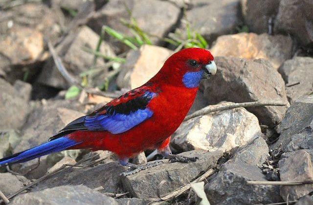 Попугай розелла на камне