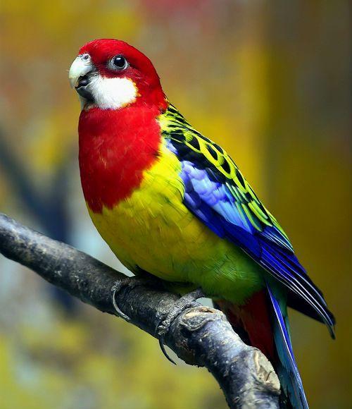Попугай розелла - внешний вид