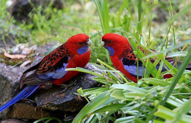 Попугай розелла - как выбрать