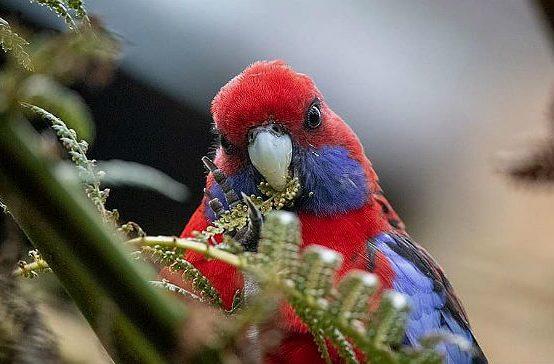 Попугай розелла - голова