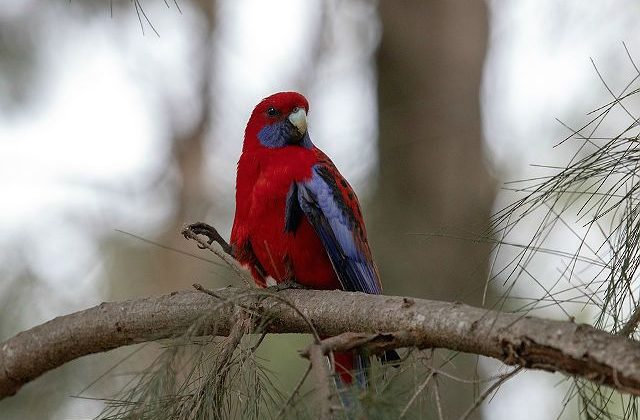 Попугай розелла красный