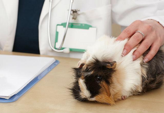 Проблемы с зубами у морской свинки - помощь ветеринара