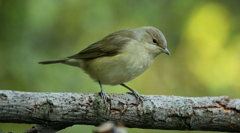 Славки птицы - главное фото