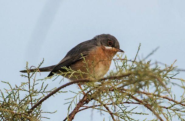 Птица славка на дереве
