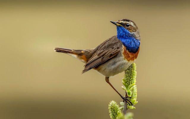 Птица варакушка - внешний вид