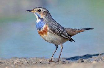Птица варакушка - главное фото