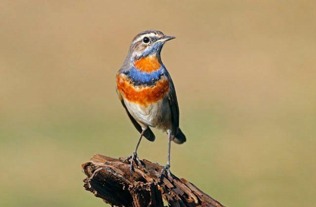 Птица варакушка - красавица