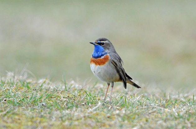 Птица варакушка на земле