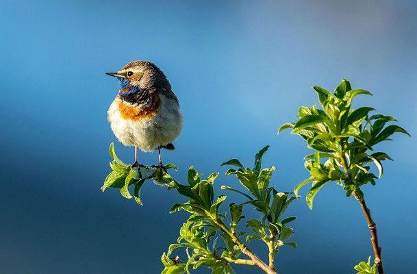 Птица варакушка сидит на веточке