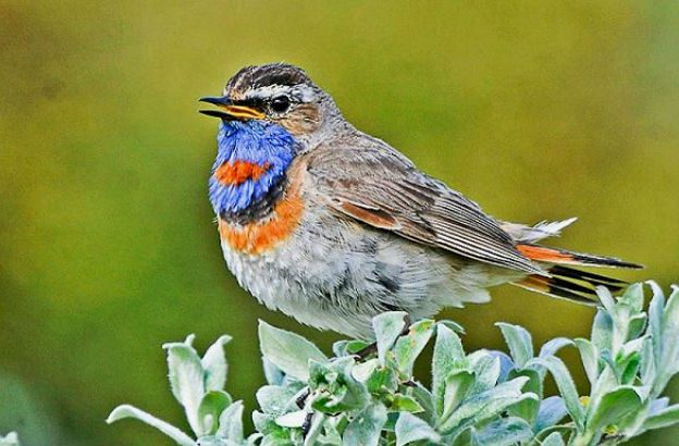 Птица варакушка - окрас грудки