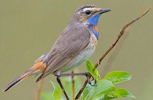 Птица варакушка - вид сбоку