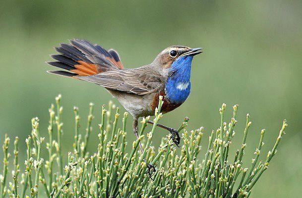 Певчая птица варакушка
