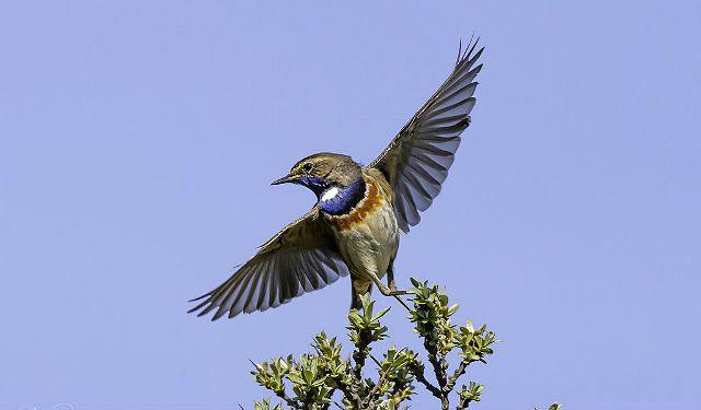 Птица варакушка расправила крылья
