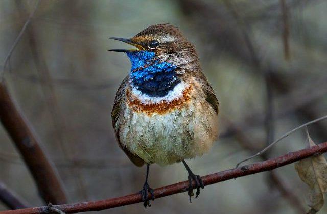 Птица варакушка - вид спереди
