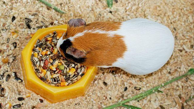 Растительный рацион морской свинки - зерновые смеси