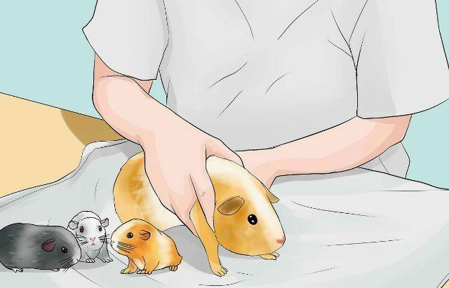 Разведение морских свинок - роды